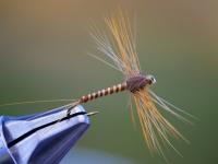 Siphlonorus Aestivalis Spent Spinner